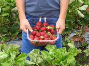 strawberries-660432_1280_800_600