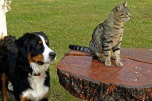 bernese-mountain-dog-111878_1280_800_533